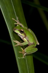 Pearson's Green Tree Frog (Litoria pearsoniana) (Gus McNab) Tags: tree green amphibian frog frogs amphibians herp herps herpetology amphibia hylidae litoria pearsons hylid pearsoniana hylids