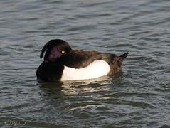 Sleeping with one eye open. (Todd Boland) Tags: bird duck waterfowl aythyafuligula tuftedduck