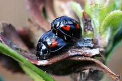Spring Is In The Air (alphazeta) Tags: black ladybug ladybeetle coccinellidae pineladybird