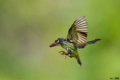 (Explored) Coppersmith Barbet #3 (kengoh8888) Tags: food green pentax background ngc flight clean npc fim k5 coppersmith barbet