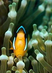 anemfishwbulb9167 (gerb) Tags: fish topv111 nice underwater teeth scuba anemone symbiotic anemonefish tvp similanislands 105mmf28micro d7000