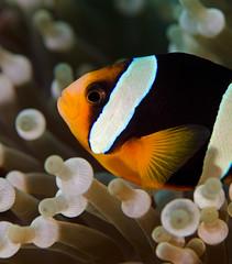 anemfish9177 (gerb) Tags: fish topv111 nice topv333 underwater teeth scuba anemone symbiotic fins anemonefish tvp similanislands aquatica 105mmf28micro d7000