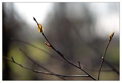 Rebirth 9 (leo.roos) Tags: flowers leaves spring minolta bokeh buds rebirth lente bloemen knoppen bladeren a900 darosa minolta8514d leoroos
