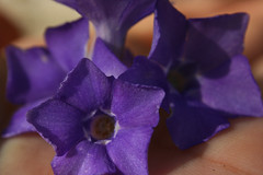 A handful of stars (SolsticeSol) Tags: flowers flower macro horizontal closeup spring hand purple image artistic creative images fresh dirt purpleflowers handholding freshflowers handcloseup spaimages freshimages closeupofahand handholdingflowers handwithflowers beautifulflowerpictures beautifulflowerimages creativeflowerimages flowersinahandcloseup closeupsofhands flowersinahand creativehandimages closeupimageofahand closeupimagesofahand closeupimagesofhands beautifulhandimages creativeimagesofhands spalikeimages