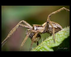 Pisaura mirabilis, male / Nursery Web Spider / Lovčík hajní, samec (Jaroslav Kaas) Tags: canon spiders arachnids arthropods arthropoda arachnida araneae pisauridae taxonomy:kingdom=animalia taxonomy:class=arachnida taxonomy:order=araneae taxonomy:phylum=arthropoda camera:make=canon nurserywebspiders exif:make=canon exif:iso_speed=200 exif:aperture=f71 taxonomy:family=pisauridae taxonomy:binomial=pisauramirabilis taxonomy:genus=pisaura taxonomy:sex=male taxonomy:species=mirabilis exif:flash=on camera:model=canoneos7d exif:model=canoneos7d exif:exposure=1250sec exif:lens=canonef100mmf28lmacroisusm exif:tripod=off original:filename=img14326jpg