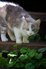 It's a big wide world out there... (Deb Jones1) Tags: family portrait pet cats pets beauty animal cat canon outdoors kitten feline kitty australia flickrduel debjones1