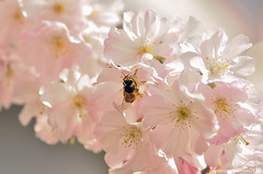 {hanami III} (Cyber Monkey) Tags: life pink light flower macro nature insect cherry spring blossom insects bee flowering sakura hanami