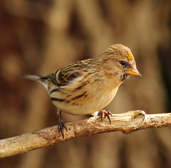yellow redpoll (Dawn Porter) Tags: bird somerset redpoll