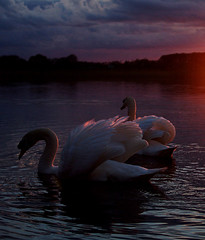 DSC04647 copy (Bob A Fox) Tags: ireland sunset lake river swans waterscape loughree cowestmeath