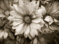 Vintage Daisies (redsnapper!) Tags: flowers light flower texture nature beauty vintage garden petals spring soft whisper blossom sweet blossoms dream cream tint textures daisy romantic flowering dreamy delicate simple hush tinted wispy creamy elemental delite whispery