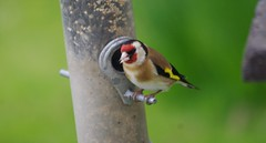 Carduelis carduelis - European Goldfinch (AssyntNature) Tags: uk nature scotland highlands wildlife scottish sutherland lochinver assynt