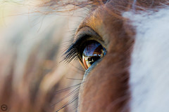 Clydesdale Closeup (Mike Matney Photography) Tags: ranch horses horse rural canon us midwest unitedstates farm may missouri budweiser clydesdale boonville 2016 warmspringsranch eos7d