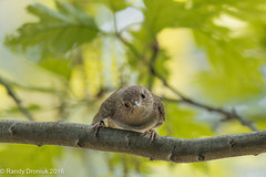 Make my day (rdroniuk) Tags: birds smallbirds passerines wrens housewren troglodytesaedon oiseaux passereaux troglodytefamilier