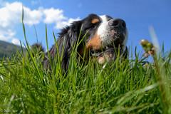 PPP - Au ras du sol (odilecuvit) Tags: chien sol nature campagne herbe museau rouler