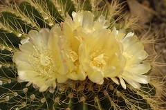 Ramillete (Txemari Roncero) Tags: flowers cactus flores macro planta nikon amarillo parodia notocactus txemari nikkor1685 nikond7000 txemarironcero schumanianus