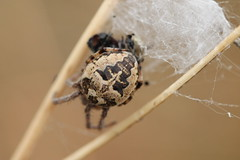 Larinioides cornutus - HBBBT (Cefn Ila) Tags: spider web arachnid larinioidescornutus hbbbt langstonellanmartinmeadows