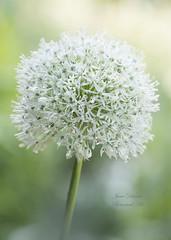 Allium (Jane Dibnah Botanical Art) Tags: nature closeup flora allium macrophotography whiteflowers floralart beautyinnature gardenflora nationaltrustgarden bodnanthallandgardens