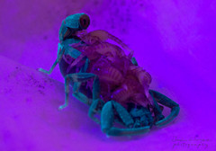 Ananteris scorpion (espentonado) Tags: macro scorpion aracnido escorpio escorpin ultravioleta autotomia ananteris