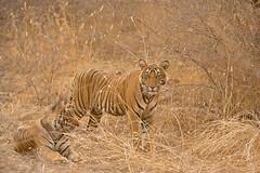 ADS_0000104391 (dickysingh) Tags: wildlife tiger tigers ranthambore indianwildlife ranthambhorenationalpark