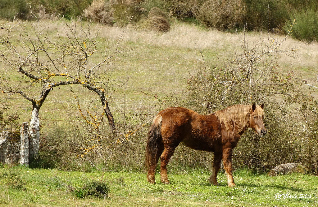 Águas Frias (Chaves) - ... cavalo só ...