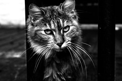 Street cat black and white (ojibwaarts) Tags: park street blackandwhite cats streetart color beauty cat shine low streetphotography claws shinning blackandwhitephotography cateye baw streetcat blackandwhitephoto pawz lownote soflight canont3i