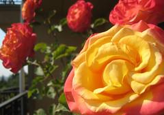 Dream Come True (rose) on my balcony (1) (iaakisa) Tags: plant frommybalcony myplant grandiflorarose dreamcometruerose