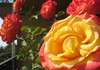 Dream Come True (rose) on my balcony (1) (iaakisa) Tags: plant frommybalcony myplant grandiflorarose dreamcometruerose
