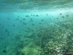 Raya Island Phuket snorkeling (28) (Eric Lon) Tags: sea mer fish swim stars thailand island nager holidays jellyfish ile diving snorkeling corals poissons etoiles coraux meduse plonger ericlon