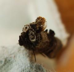 The Spectacle. Abrostola tripartita (gailhampshire) Tags: spectacle the abrostola tripartita