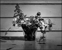 1989_0476-4_spot_20160114 (Ral Filion) Tags: usa flower fleur unitedstates maine pot flowerpot naturemorte tatsunis artstilllife