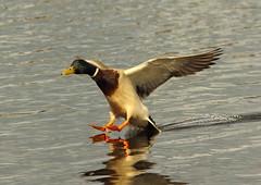 Mallard (Anas platyrhynchos) (Colin Pinchen) Tags: england bird colin duck aves lancashire mallard anasplatyrhynchos anatidae anseriformes leightonmoss pinchen