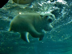 Lili can dive now  (BrigitteE1) Tags: bear blue baby water animal swim germany de mammal cub wasser europe day underwater dive polarbear today lili bremerhaven zooammeer tier br eisbr oursblanc unterwasser sugetier smallbear polarbearcub eisbrbaby kleinerbr eisbrlili polarbearlili lilicandivenow