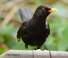 Blackbird (wok smuggler) Tags: bird animal feeding outdoor turdusmerula blackbird stover sigma150500 nikond7100