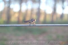 Fugere Urben (Francisco Barnab Ferreira) Tags: inseto fio pouso arame