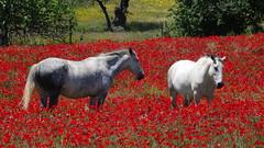 White Horses, near Badajoz, Extremadura, Spain - May 2016 (Keith.William.Rapley) Tags: horses spain badajoz extremadura poppyfield twohorses redpoppies twowhitehorses keithwilliamrapley
