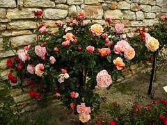 Roses in Balchik botanical garden, Bulgaria (cod_gabriel) Tags: roses bulgaria botanicalgarden balchik dobrudja balcic trandafiri dobrogea cadrilater grdinabotanic dobruja balchikbotanicalgarden grdinbotanic gradinabotanicabalcic