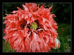 gefranster Mohn nach dem heutigen Regen !!! (karin_b1966) Tags: plant flower nature garden blossom natur pflanze poppy blume blte garten 2016 yourbestoftoday gefranstermohn ransenmohnpapaverlaciniatumrot