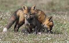 Red Fox Kits (T0nyJ0yce) Tags: family wild baby cute nature animals pups wildlife adorable siblings explore fox kits cubs wildflowers mammals foxes silverfox redfox vulpesvulpes canon7dmarkii tamron150600