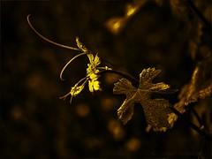 Goldfinger (GottiKa) Tags: wein goldfinger weinstock kellergasse altglas weinrebe goldfilter domiplan2850mm artofgottika olympusomdem10