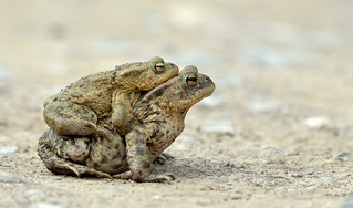 Common Toad (Bufo bufo).