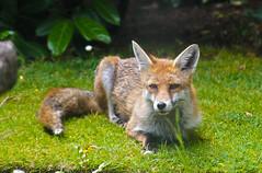 Relaxed (Coquine!) Tags: christianleyk unitedkingdom hampshire greatbritain countryside landleben garden garten fox fuchs