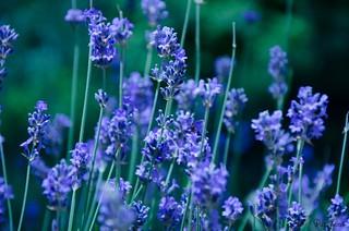 Lavender's blue longing ...