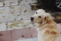 Coco expressions......#dog #cuteness #puppy #golden #india #indore #home #expressions (Anupam2009) Tags: dog cuteness puppy golden india indore home expressions
