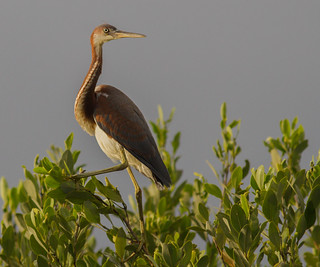 IMG_2337 Tricolored Heron