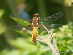 Broad Bodied Chaser female Cudd. (dougskik) Tags: dragonfly broadbodied chaser