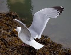 American Herring Gull or Smithsonian Gull (Larus smithsonianus or Larus argentatus smithsonianus) (mosesharold) Tags: gulls