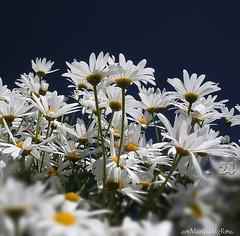 Um dia Perfeito.... (Martha MGR) Tags: flowers flores nature daisies natureza margaridas mmgr marthamgr marthamariagrabnerraymundo marthamgraymundo
