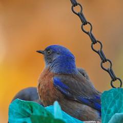 Western Bluebird In A Hanging Planter Basket (Bill Gracey) Tags: colors birds birdbath bokeh feathers textures pajaro oiseau vogel audobon westernbluebird platinumheartaward highqualityanimals hangingplanterbasket