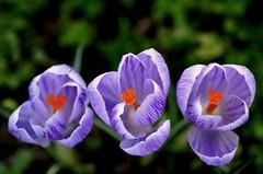 3 (pallab seth) Tags: park flower macro london spring purple ngc crocus pickwick signofspring tamronaf90mmf28dispam11macro