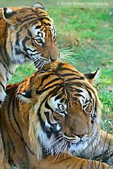 Royal Bengal Tiger Couple (Mohit Shimpi) Tags: wildlife tiger royalbengaltiger flickrbigcats mohitshimpi